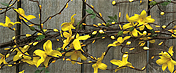 Star Forsythia Garland