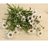 Mini Mountain Daisy Bush, Cream