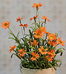 Mini Mountain Daisy Bush, Orange, 18""