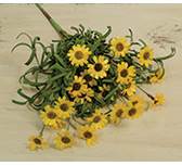 Mini Mountain Daisy Bush, Yellow