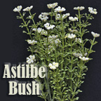 Astilbe Bush - Cream - 10-1/2""