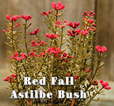 Red Fall Astilbe Bush