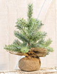 Icy Rocky Mountain Pine Tree, 12\