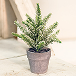 Potted Icy Pine, 7\