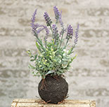 Rooted Wild Lavender, 14\